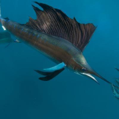 Sailfish Eco Adventure Tour: Riviera Maya
