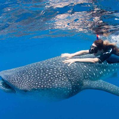 Whale Shark Encounter (La Paz)