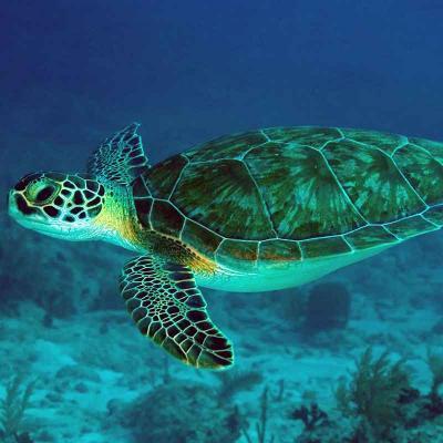 Marine Turtle Observation Akumal Playa del Carmen