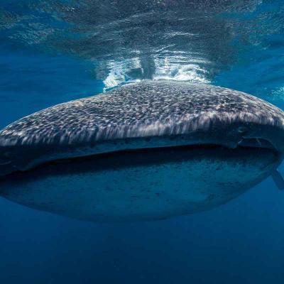 Whale Shark Adventure Riviera Maya en Servicio Privado