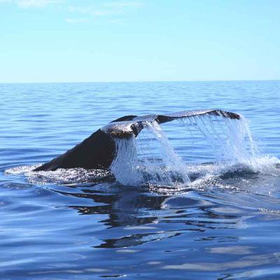 Whale Watching (Con transportación)