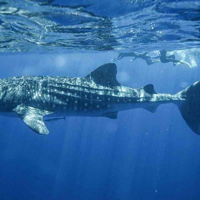 Whale Shark Adventure Riviera Maya