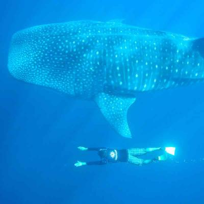 Swimming with Whale Shark (Niño) (La Paz)