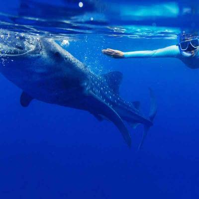 Avistamiento de Tiburón Ballena