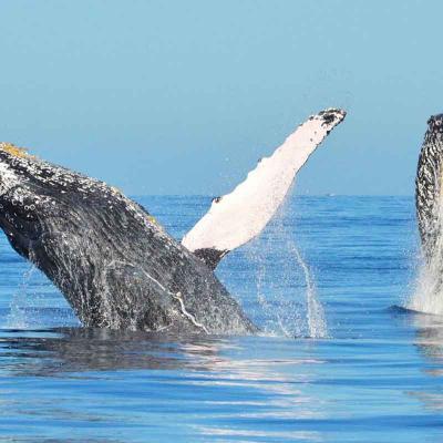 Whale Photo Safari (Dec-Apr)
